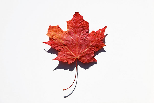 canada day maple leaf design