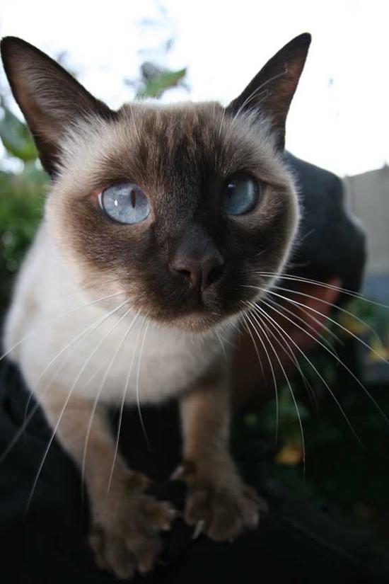 Persue Cat